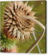 Dried Up Thistle Acrylic Print