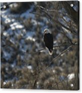 Eagle In Tree Acrylic Print