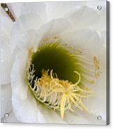 Easter Lily Cactus Acrylic Print