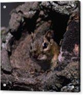 Eastern Chipmunk In Tree Acrylic Print