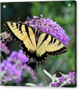 Eastern Tiger Swallowtail Butterfly 2015 Acrylic Print