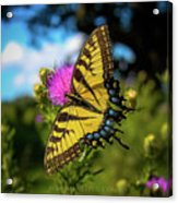 Eastern Tiger Swallowtail Acrylic Print