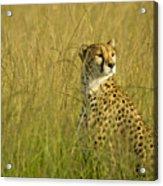 Elegant Cheetah Acrylic Print