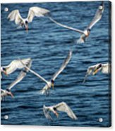 Elegant Terns Diving For Fish Acrylic Print