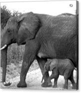 Elephant Walk Black And White  Acrylic Print