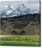 Elk Herd Acrylic Print