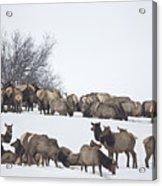 Elk Herd In The Snow Acrylic Print