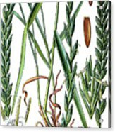 Elymus Repens, Commonly Known As Couch Grass Acrylic Print