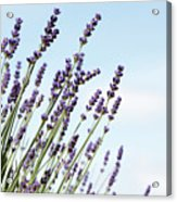 English Lavender Acrylic Print
