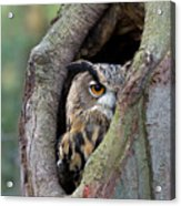 Eurasian Eagle-owl Bubo Bubo Looking Acrylic Print by Rob Reijnen
