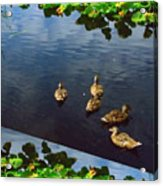 Exotic Birds Of America Ducks In A Pond Acrylic Print