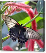 Exotic Butterflies At Rhs Wisley Surrey Uk Acrylic Print