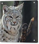 Face Of A Canadian Lynx Acrylic Print