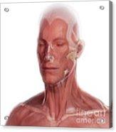 Facial Anatomy Acrylic Print