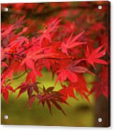 Fall Color Maple Leaves At The Forest In Aomori, Japan Acrylic Print