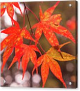 Fall Color Maple Leaves At The Forest In Kochi, Japan Acrylic Print