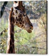 Fall Giraffe I Acrylic Print