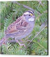 Fall Sparrow Acrylic Print