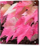 Fall Virginia Creeper Acrylic Print