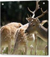 Fallow Deer Acrylic Print