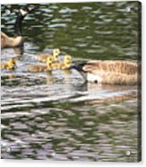 Family Of Geese Acrylic Print
