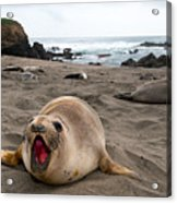 Female Northern Elephant Seal  Mirounga Angustirostris Acrylic Print