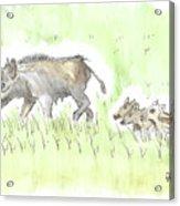 Feral Hogs Acrylic Print