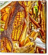 Field Corn Ready For Harvest Acrylic Print