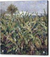 Field Of Banana Trees Acrylic Print