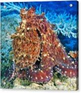 Fiji, Day Octopus Acrylic Print