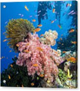 Fiji Underwater Acrylic Print by Dave Fleetham - Printscapes