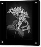 Fine Art Framed Study Of Estephanotis- Acrylic Print