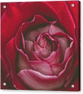 First Rose Bloom  Acrylic Print