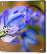 First Spring Flowers Acrylic Print