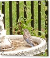 Fledgling Bluebird At Birdbath Acrylic Print