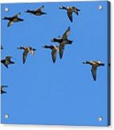 Flock Of Redhead Ducks In Flight Acrylic Print