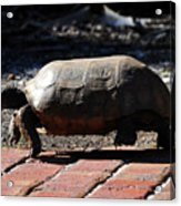 Florida Gopher Tortoise Acrylic Print