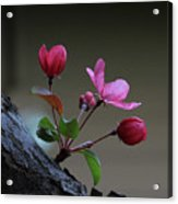 Flowering Crabapple Acrylic Print