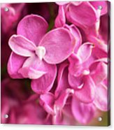 Flowers - Freshly Cut Lilacs Acrylic Print