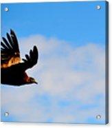 Flying Condor Acrylic Print
