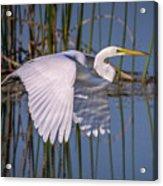 Flying Egret Acrylic Print