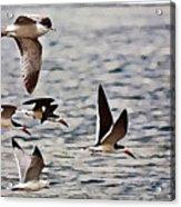 Flying The Inter-coastal - T Acrylic Print