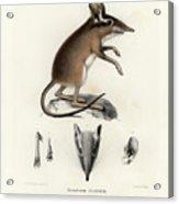 Four-toed Elephant Shrew Acrylic Print