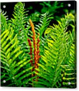 Fern Fractals In Nature Acrylic Print