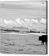 Free Range Beef Cattle On Open Farmland Anglesey North Wales Uk Acrylic Print