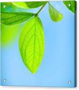 Fresh Green Leaves Acrylic Print