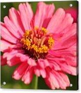 Fuchsia Pink Zinnia From The Whirlygig Mix Acrylic Print