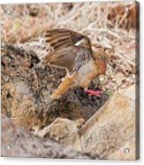 Galapagos Dove In Espanola Island. Acrylic Print