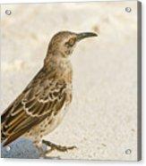 Galapagos Hood Mockingbird Acrylic Print