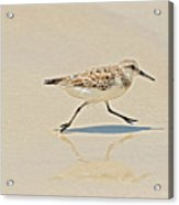 Galapagos Mockingbird In Santa Cruz Island. Acrylic Print